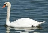 Picture of Mute Swan