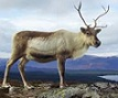 Picture of a reindeerl