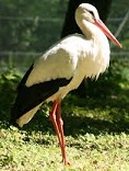Picture of White Stork